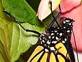 Profile of a Monarch (8472442440).jpg