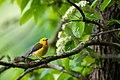 Prothonotary warbler (28152874188).jpg