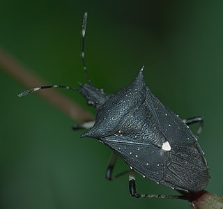 <i>Proxys punctulatus</i> Species of true bug
