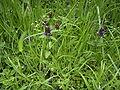 Prunella vulgaris plant2.jpg