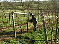 Pruning the vines - geograph.org.uk - 320499.jpg