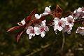 Prunus cerasifera C.jpg