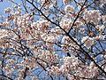Prunus in Yoyogi Park Tokyo 20170403.jpg