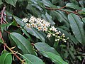 Prunus lusitanica. Lloral.jpg