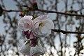 Prunus serrulata Shirotae 3zz.jpg