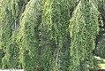Prunus x subhirtella Shidare Higan 2zz.jpg