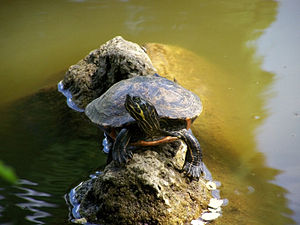 Eastern river cooter - Image: Pseudemys concinna concinna