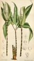 Pseudodracontium lacourii CBM.png