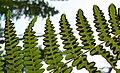 Pteridium aquilinum var. pubescens 3.jpg