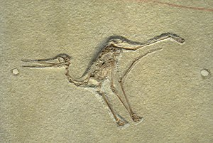 Aurorazhdarcho - Fossil specimen, CM 11426, formerly referred to Pterodactylus micronyx