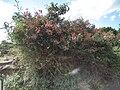 Pterolobium stellatum, Flora of Tanzania 2491 Nevit.jpg