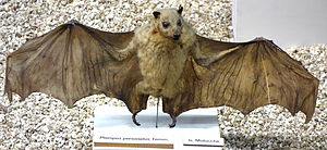 Masked flying fox - Pteropus personatus
