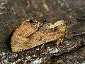 Ptilodon capucina - Coxcomb prominent - Хохлатка липовая (39330202070).jpg