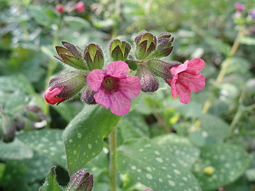 Pulmonaria officinalis Gevlekt longkruid