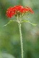 Punainen kukka.JPG