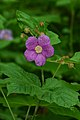 Purple-flowered Raspberry (Rubus odoratus) - Kitchener, Ontario 02.jpg