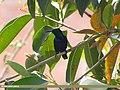 Purple Sunbird (Cinnyris asiaticus) (15867550556).jpg