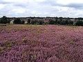Purple heather on Oak Tree Lane Nature Reserve - geograph.org.uk - 539799.jpg