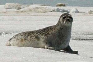 Ringed seal - Image: Pusa hispida hispida NOAA 1
