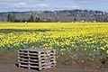 Puyallup Daffodils1 - panoramio.jpg