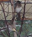 Pycnonotus barbatus01.jpg