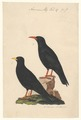 Pyrrhocorax alpinus - 1840 - Print - Iconographia Zoologica - Special Collections University of Amsterdam - UBA01 IZA1000569.tif