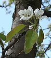 Pyrus communis flower p.jpg
