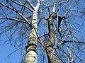 Quand deux arbres sont unit - panoramio.jpg