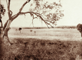 Queensland State Archives 2311 Grazing land at Jimbour Station Darling Downs 1897.png