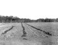 Queensland State Archives 2632 Pineapples and vegetables on the training farm Beerburrum July 1917.png