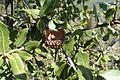 Quercus coccifera kz9.jpg