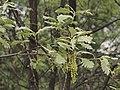 Quercus pyrenaica 20140414.jpg