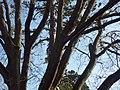 Réseau de branches dans le ciel d'Angers - panoramio.jpg