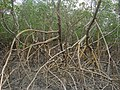 Raízes Douradas do Mangue - panoramio.jpg