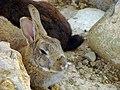 Rabbit خرگوش 04.jpg