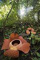 Rafflesia arnoldii Bengkulu 01.jpg