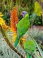 Rainbow lorikeet and Aloe sp Brisbane Botanic Gardens Mt Coot-tha P1030136.jpg