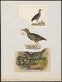 Rallus aquaticus - 1700-1880 - Print - Iconographia Zoologica - Special Collections University of Amsterdam - UBA01 IZ17500017.tif