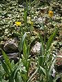 Ranunculus lingua RHu01.JPG