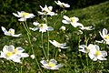 Ranunculus platanifolius (Platanen-Hahnenfuß) IMG 0744.JPG