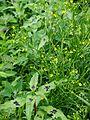 Ranunculus sceleratus Jaskier jadowity 2017-06-16 06.jpg