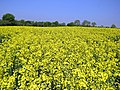 Rape field at Hatfield Broad Oak, Essex England 02.jpg
