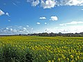 Rape field near Warkworth - geograph.org.uk - 783493.jpg