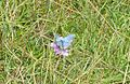 Rare Adonis Blue butterfly on Rodborough Common - geograph.org.uk - 365194.jpg