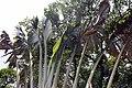 Ravenala madagascariensis 22zz.jpg