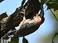 Red-bellied Woodpecker (45208876131).jpg
