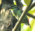 Red-rumped Tinkerbird - Ankasa - Ghana 14 S4E2139, crop.jpg