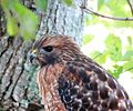 Red-shouldered hawk (16354756156).jpg