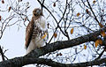 Red-tailed-hawk-4.jpg