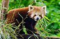 Red Panda (18953120134).jpg